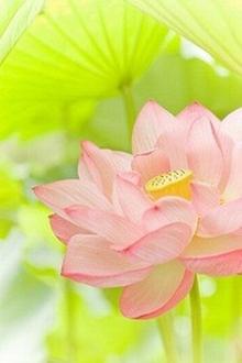 在世如莲,净心素雅,不污不垢,淡看浮华。